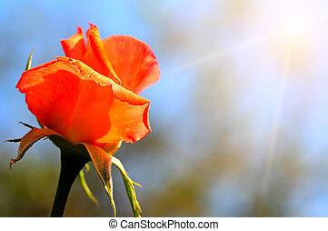 rosebud on blue sky background