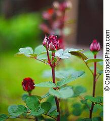 rosebuds at the garden