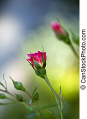 Rosebuds in a garden