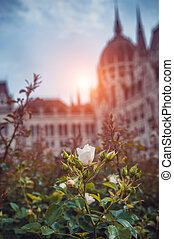 rosebuds in front of Parliament Budapest, light setting sun
