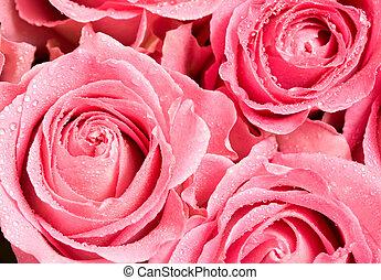 Rosebuds - Macro shot of blooming pink roses with water ...
