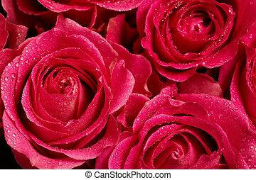 Rosebuds - Macro shot of blooming red roses with water drops...