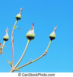 Rosebuds on the branch over deep blue sky
