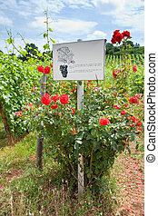 rosebush at vineyard in Alsace