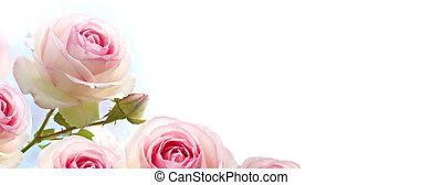 rosebush, bloemen, rooskleurige rozen, op, een, helling, blauwe , om te, witte achtergrond, horizontaal, spandoek