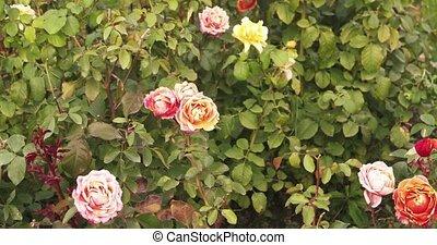 rosegarden, crémeux, ensoleillé, day., roses, fleurir