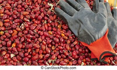 rosehip and gloves, to gather rose hips is a very laborious and difficult work,
