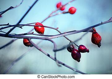 Rosehip berries on the twig, natural autumn seasonal...