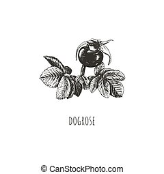 Rosehip berry vector illustration. Dogrose. Rosehip sketch ...
