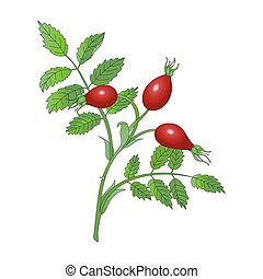 rosehip branch - Rosehip branch with red berries