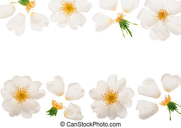 Rosehip flower isolated on white background with copy space for your text