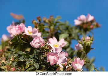 Rosehip flowers close-up against the blue sky