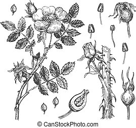 Rosehip flowers, petals and berries - Vector illustration of...