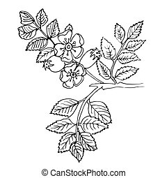 rosehip hand drawn - Hand-drawn rosehip branch with berries...