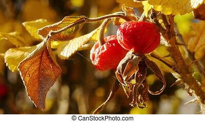 rosehip, mûrir
