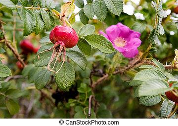 rosehip, plano de fondo