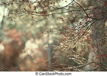 rosehip, ramas, bayas