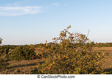 Rosehip shrub in a plain landscape