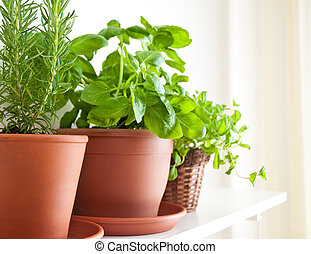 Rosemary, Basil and Mint in Pots - Three pots of herbs: ...