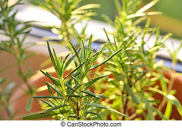 Rosemary growing in pots on the sill at window