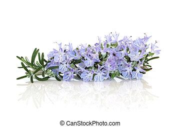 Rosemary Herb Flower - Rosemary herb flower leaf sprig...
