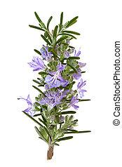 Rosemary Herb Flowers - Rosemary herb leaf sprig in flower...