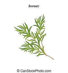 Rosemary herb illustration