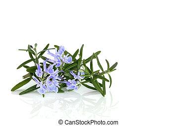 Rosemary Herb in Flower - Rosemary herb leaf in flower over...