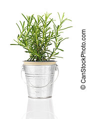 rosemary herb plant growing in a distressed pewter pot, isolated