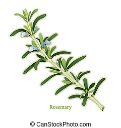 Rosemary, fragrant, perennial herb from the Mediterranean with dark green, narrow leaves used as seasoning, in medicine and perfumes. Classic ingredient of French herb blend, Herbes de Provence. See other herbs and spices in this series.