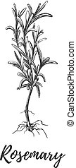 Rosemary herb with roots. Botanical illustration