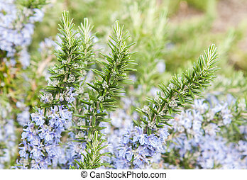 rosemary in flowers with blurred background