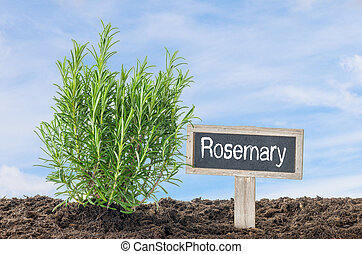 Rosemary in the garden with a wooden label