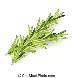 Rosemary isolated on white vector