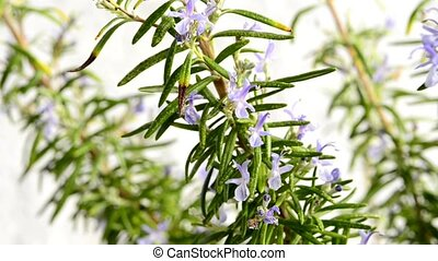 Rosemary medicinal plant and spice with flower