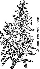 Rosemary or Rosmarinus officinalis, vintage engraving.