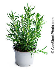 Rosemary plant in gray pot isolated on white background