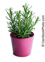 Rosemary plant in purple pot isolated on white background