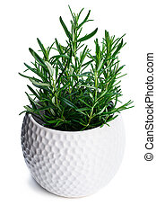 Rosemary plant in white clay pot isolated on white background