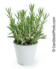 Rosemary plant in white pot