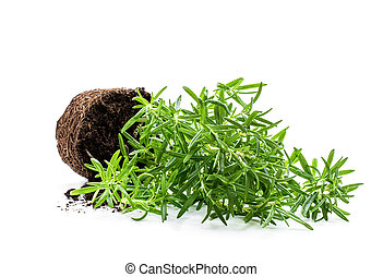 Rosemary plant isolated on white background