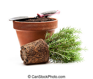 Rosemary plant ready for planting isolated on white background.