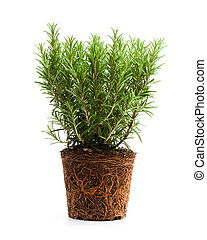 rosemary plant with roots isolated on white background