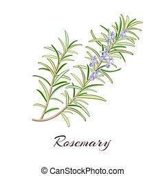 rosemary - Rosemary herb. Rosmarinus officinalis. Leaves and...
