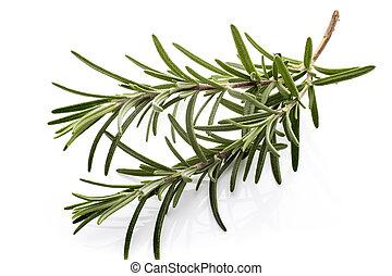 Rosemary. - Rosemary twig on the isolated white background.