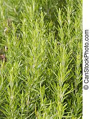 Rosemary - Rosmarinus officinalis - Rosemary Herb shrub - ...