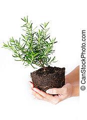 rosemary tree in hand