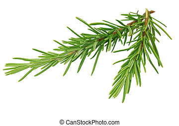 Two branches of rosemary isolated on white