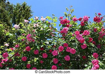 Rosen, Blumen - rosen, blumen