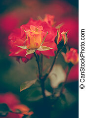 rosen, in, kleingarten